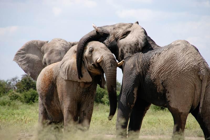 זיכרון טוב וגם בריאות. פילים|צילום: pixabay.com