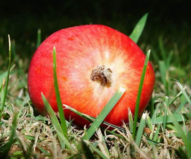 תפוח טרי, האם הוא אוכל אמיתי? תפוח | צילום המחשה: pixabay.com